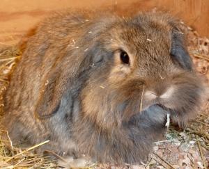 Kaninunge med barter