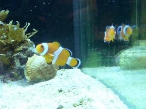 Klovnefisker
