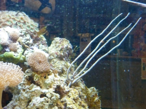 Gorgonia sp. grenkorall u polypper