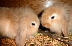 Vakre kaninunger