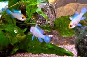 Electric blue sommerfuglciklide