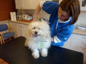 hund hos kiropraktor