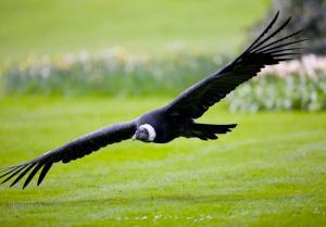 Condor Weltvogelpark